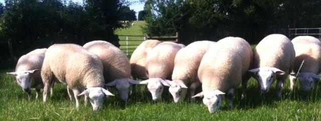 2014 Ram Lambs