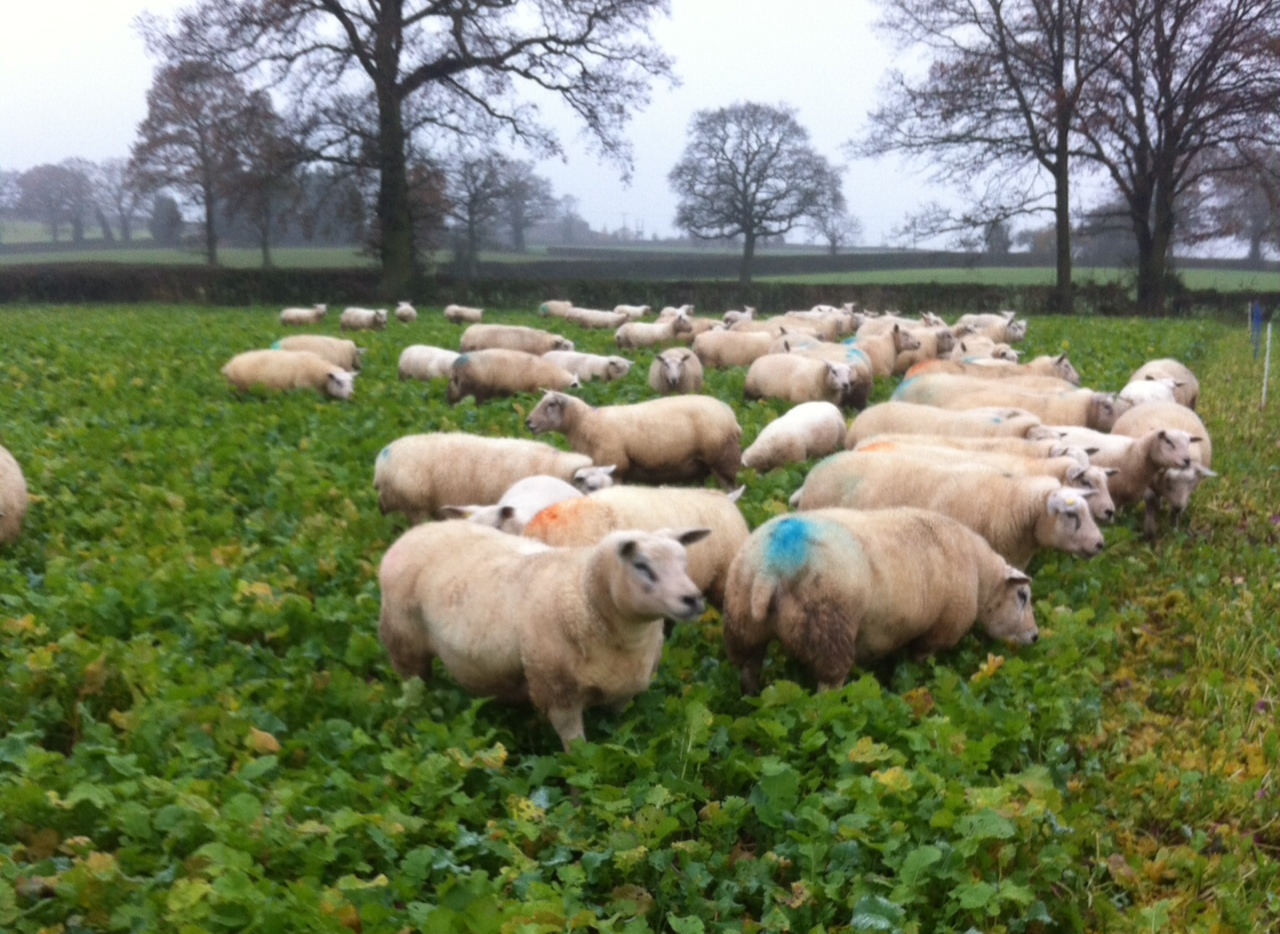 Ewes on roots