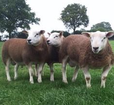 EN Ram Lambs