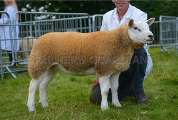 Ewe lamb 612